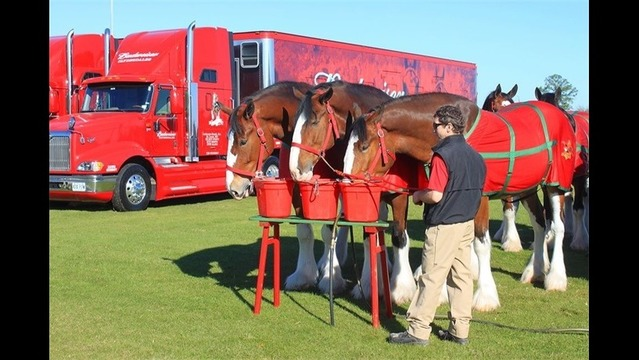 Budweiser Clydesdales take morning drink break at Daytona_131778085891165633