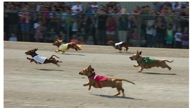 Wiener dogs wanted for annual races at Batavia Downs