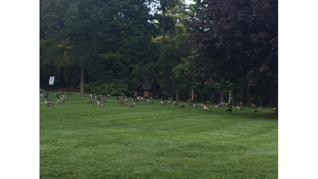 Golisano withholds $90K tax payment due to geese problem