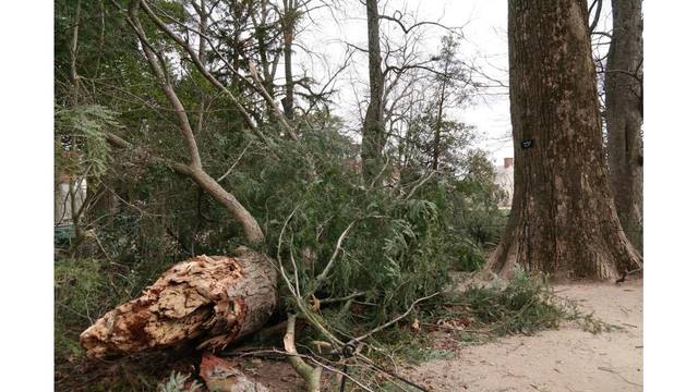Tree planted by George Washington blown down at Mt. Vernon estate