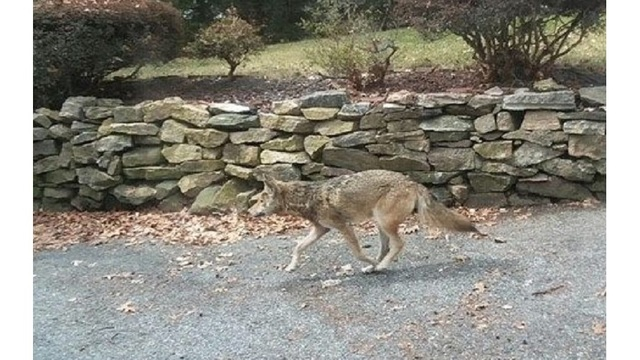 After downstate coyote attacks, DEC warns public