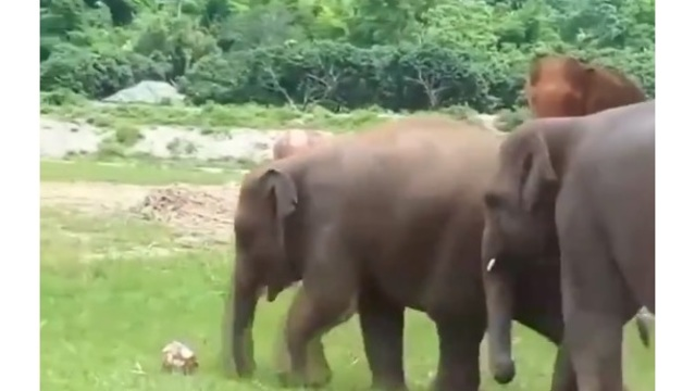 Elephants playing their own World Cup in Thailand