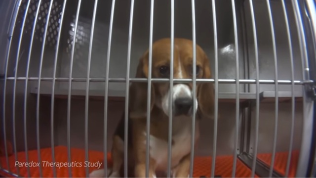 Humane Society says 36 beagles force-fed pesticide during lab testing will be euthanized